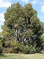 Eucalyptus cordata.jpg