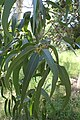 Eucalyptus cypellocarpa kz01.jpg