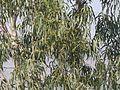 Eucalyptus sp. (4398632256).jpg