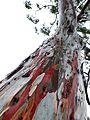 Eucalyptus trees in rain.jpg