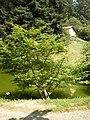 Euonymus alatus - Burcina - Vista su C.na Emilia.jpg