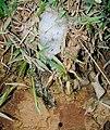 Eupemphix nattereri07.jpg
