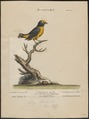Euphonia chlorotica - 1700-1880 - Print - Iconographia Zoologica - Special Collections University of Amsterdam - UBA01 IZ15900417.tif