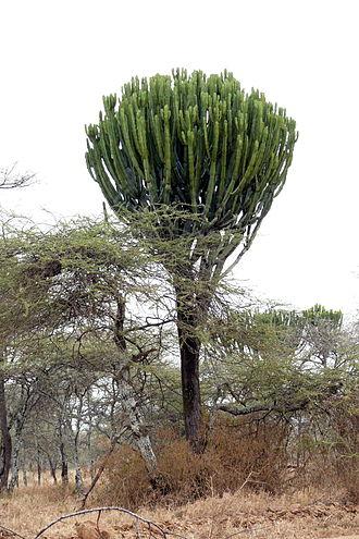 Euphorbia candelabrum - Euphorbia candelabrum in the Serengeti