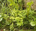 Euphorbia peplus3 ies.jpg