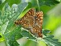 Euphydryas aurinia (in copula) - Marsh fritillary (mating) - Шашечница авриния (спаривание) (27278348718).jpg