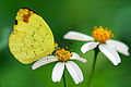 Eurema alitha esakii 20140129.jpg