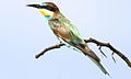 European bee-eater, Merops apiaster, at Rietvlei Nature Reserve, Gauteng, South Africa (16048052761).jpg