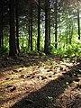 Evening Light through Pine Trees, Ettrick water - geograph.org.uk - 813257.jpg