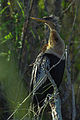 Everglades15(js)-Anhinga.jpg
