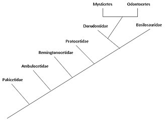 Evolution of cetaceans - A phylogenetic tree showing the relationships among cetacean families.