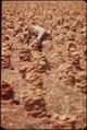 FARM WORKER TIES BAGS OF ONIONS - NARA - 549048.tif