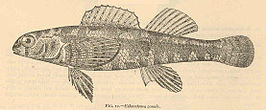 FMIB 40385 Etheostoma zonale.jpeg