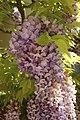 Fabales - Wisteria sinensis - 2.jpg