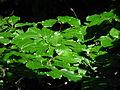 Fagus sylvatica leaves 02.JPG
