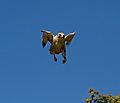 Falcon coming into Land (7637625882).jpg