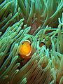 False Clown Anemonefish, Pulau Perhentian, Malaysia (4011453070).jpg