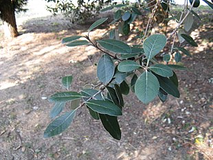 Feijoa sellowiana2.jpg