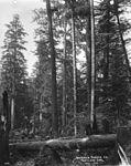Felling spruce trees on the Oregon coast (3492736064).jpg