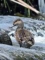 Female eurasian teal in the Tama river.jpg