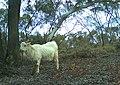 Feral goat browsing, Yathong Nature Reserve.jpg