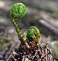 Fern sprout.jpg