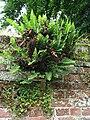 Ferns on churchyard wall - geograph.org.uk - 880369.jpg