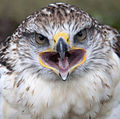 Ferruginous Hawk Mouth (3863034868).jpg
