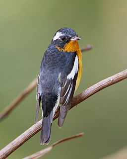 Mugimaki flycatcher species of bird