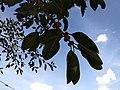 Ficus benghalensis near Thanjavur Railway Junction IMG 20180512 155041101 BURST002.jpg
