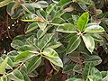 Ficus elastica leaves 02.JPG
