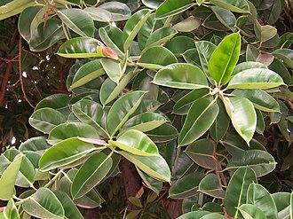 Ficus elastica - Image: Ficus elastica leaves 02