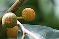 Ficus sinuata.JPG