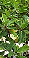 Ficus sycomorus – Blätter.jpg