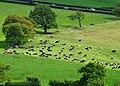 Field of cattle in Alberbury with Cardeston, Shropshire, England.jpg