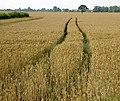 Field of gold - geograph.org.uk - 910476.jpg