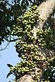 Figs Ficus glomerata Umbar Kalyan IMG 1969 (1).JPG