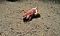 Flamboyant Cuttlefish (Metasepia pfefferi) (6059293077).jpg