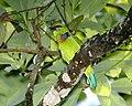 Flame-fronted Barbet (Megalaima armillaris armillaris).jpg