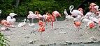 Flamingo (Phoenicopterus roseus), Tierpark Hellabrunn, Múnich, Alemania, 2012-06-17, DD 01.JPG