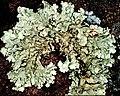 Flavoparmelia baltimorensis-6.jpg