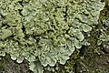 Flavoparmelia soredians (39276363104).jpg