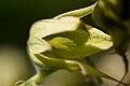Fleur mâle Decaisnea fargesii.jpg