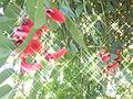 Fleurs etoilees.jpg