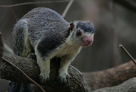 Flickr - Rainbirder - Giant Squirrel (Ratufa macroura) (1).jpg