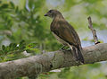 Flickr - Rainbirder - Scaly-throated Honeyguide (Indicator variegatus) (2).jpg
