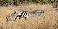 Flickr - ggallice - Plains zebra mother ^ foal.jpg