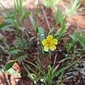 Flor de abrojo (Tribulus terrestris).jpg