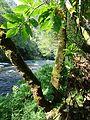 Flora y río Eume.JPG