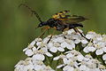 Flower longhorn taking off (7119391757).jpg